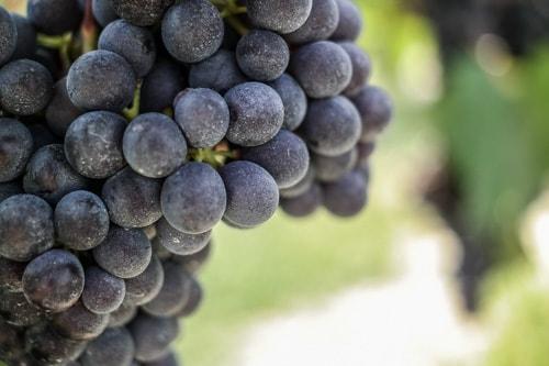 Barolo Wine: The Nebbiolo grapes on the vine