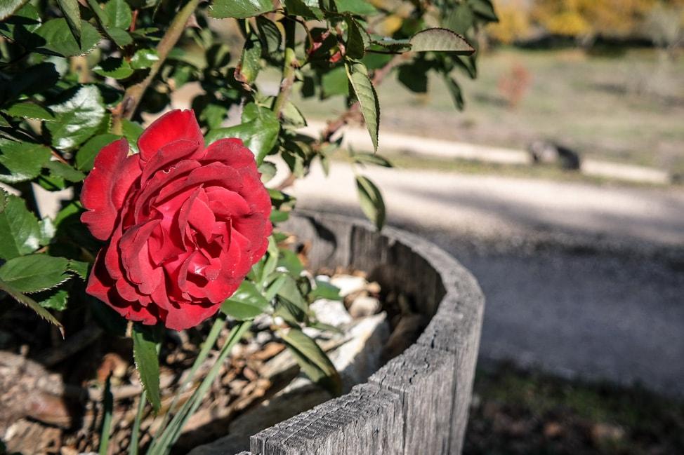 california road trip roses