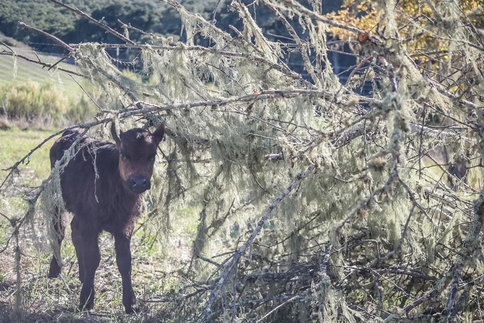 california road trip calf