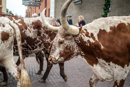 Visit Forth Worth: The legendary longhorn cattle in the Fort Worth Stockyards