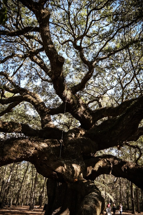 best things to do in charleston: the branches of the Angel Oak tree