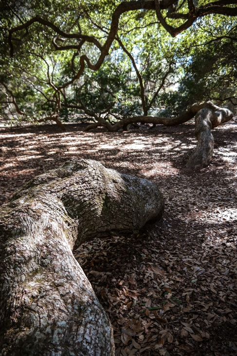 best things to do in charleston: the enormous branches of the Angel Oak tree