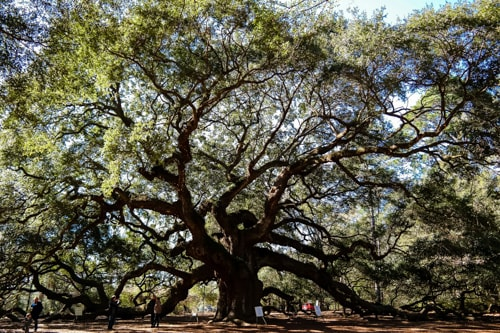 best things to do in charleston: the 500 year old Angel Oak on Johns Island
